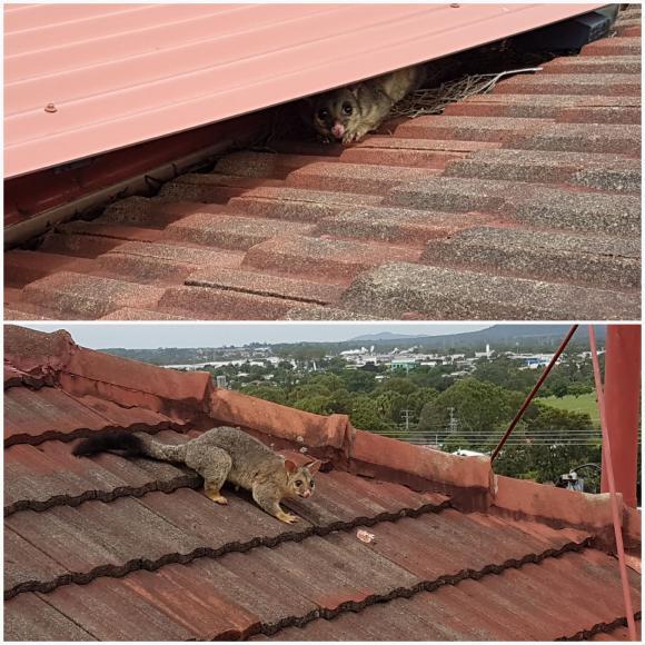 Gutter-Vac Brisbane South-East: Possum eviction in Morningside.
