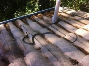 Gutter-Vac Brisbane South-East encounters: SNAKES ON A ROOF!